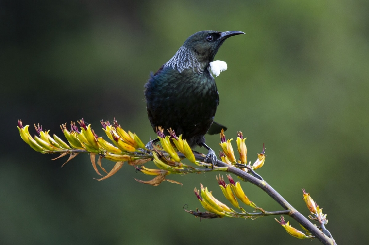 Tui with flax flowers